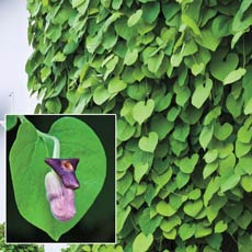 Aristolochia macrophylla – Dutchman's Pipe