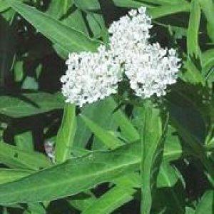 Asclepias incarnata – 'Ice Ballet' Milkweed