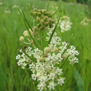 Asclepias verticillata – Whorled Milkweed
