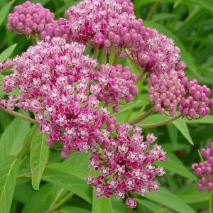 Asclepias incarnata – Swamp Milkweed – 1 gallon pot