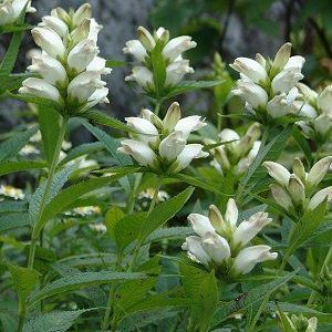 Chelone glabra – White Turtlehead – 1 gallon pot