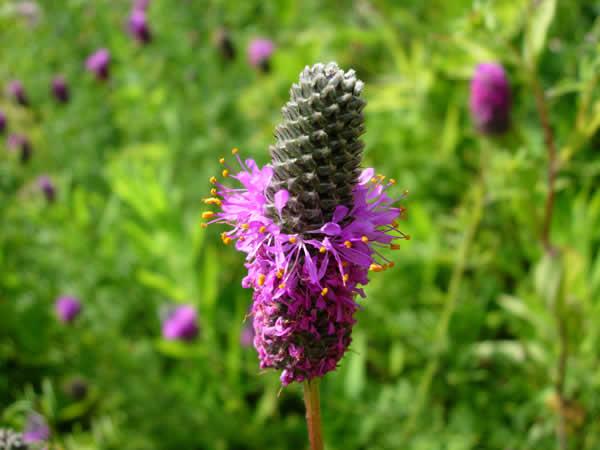 Dalea purpurea purple prairie clover mightylinksfo