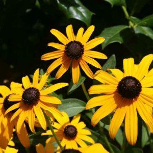 Rudbeckia fulgida 'Little Goldstar' Black-eyed Susan