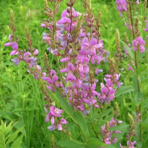 Desmodium canadense – Showy Tick Trefoil