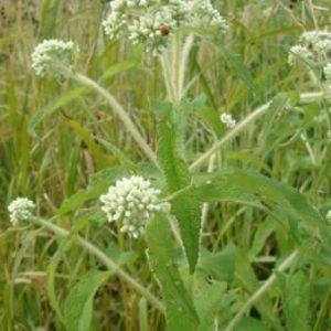 Eupatorium perfoliatum – Boneset