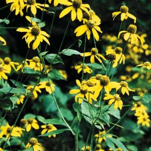 Rudbeckia lancinata – Green-Headed Coneflower