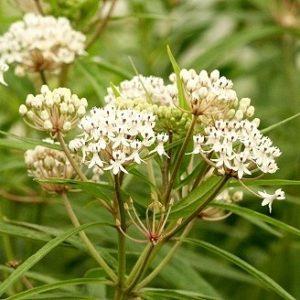 Asclepias perennis – Aquatic Milkweed