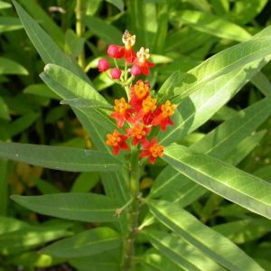 Asclepias curassavica – Tropical Milkweed