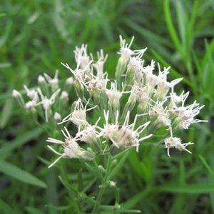 Eupatorium hyssopifolium – Hyssop-leaved Thoroughwort