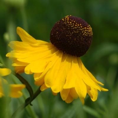 Helenium flexuosum – 'Tiny Dancer' Sneezeweed