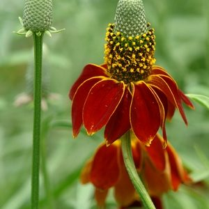 Ratibida columnifera – Mexican Hat Plant