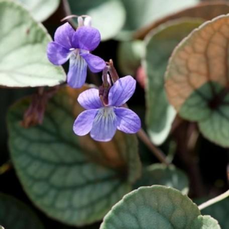 Viola walteri 'Silver Gem' Violet