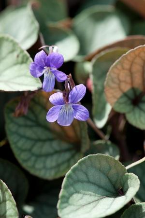 Viola walteri – 'Silver Gem' Violet