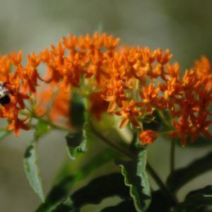 Asclepias tuberosa – Butterfly Weed Milkweed