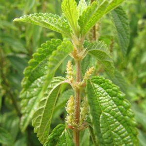 Boehmeria cylindrica- False Nettle