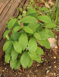 Lindera benzoin – Spicebush