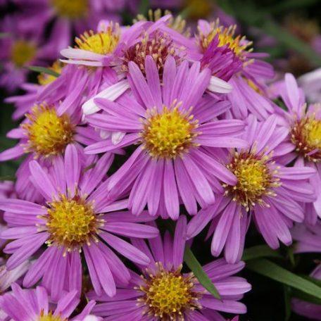 Aster dumosus 'Wood's Pink' Aster