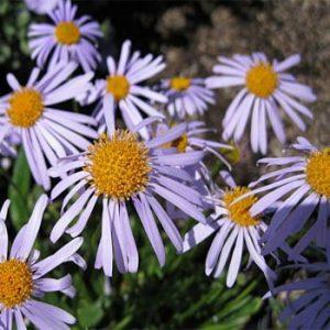 Aster tongolensis –  'Wartburg Star' Aster