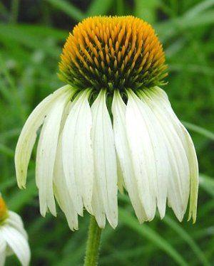 Echinacea purpurea white swan coneflower butterfly gardens to go echinacea purpurea white swan mightylinksfo