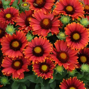 Gaillardia grandiflora Arizona Red Shades 2