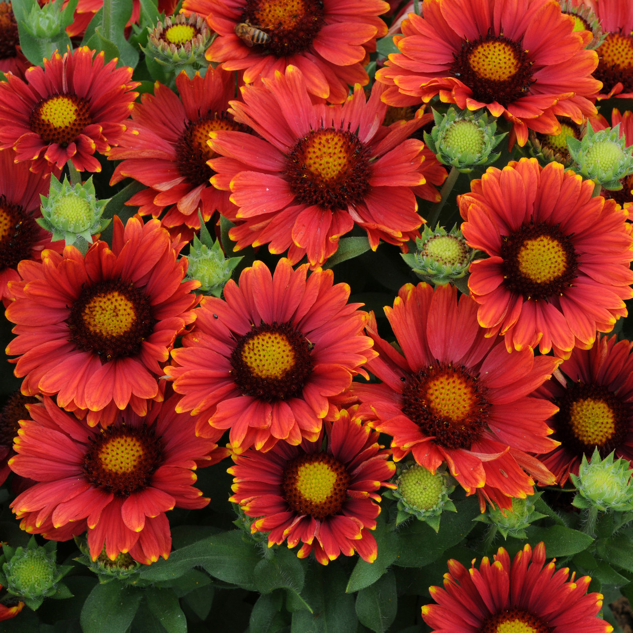 Gaillardia Grandiflora Arizona Red Shades Blanket Flower