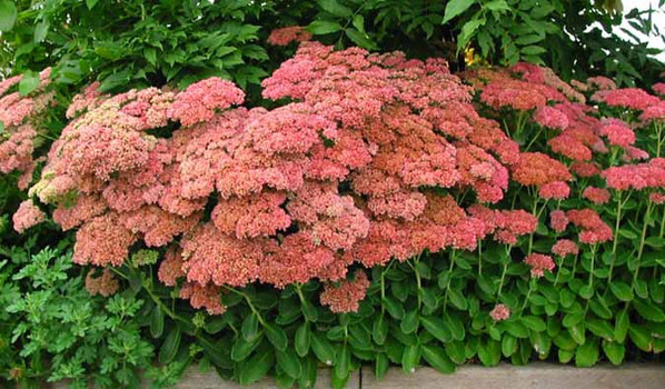 sedum telephium autumn joy. Black Bedroom Furniture Sets. Home Design Ideas