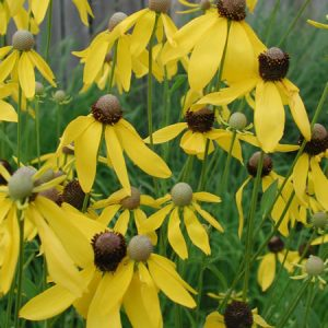 Ratibida pinnata - Yellow Coneflower