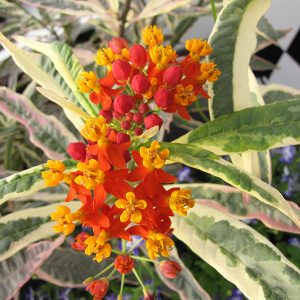 Asclepias curassavica – 'Monarch Promise' Tropical Milkweed