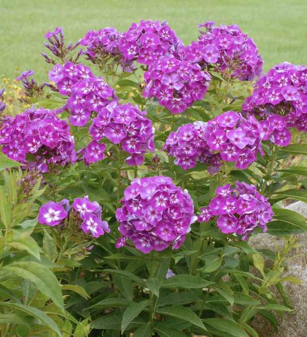 Phlox paniculata laura butterfly gardens to go phlox paniculata mightylinksfo