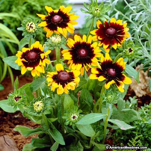 rudbeckia hirta sonora black eyed susan butterfly gardens to go