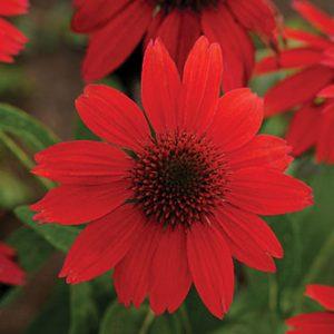 Echinacea Sombrero 'Salsa Red' Coneflower