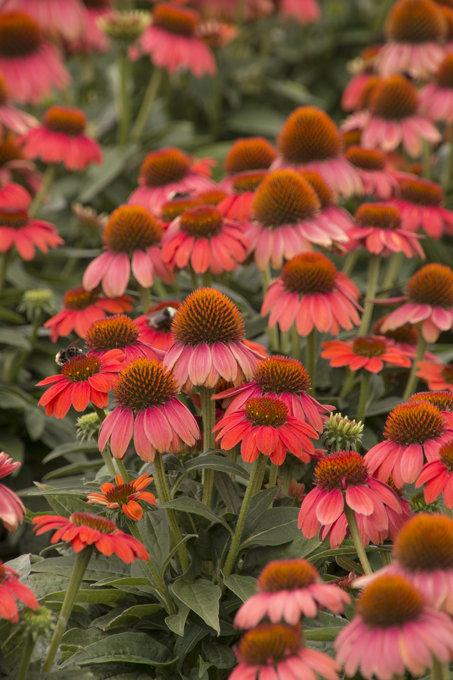 Echinacea Sombrero Hot Coral Coneflower Butterfly Gardens To Go