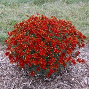 Coreopsis verticillata Sizzle & Spice™ Crazy Cayenne