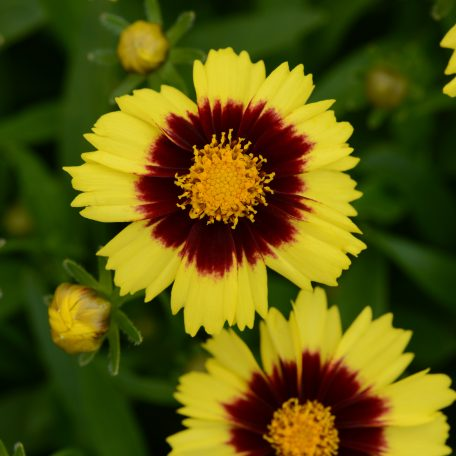 UpTick Yellow&Red Coreopsis - Lowes exclusive for one year. No HD or Walmart but ok for IGCs and others. Color Code: 102c, 1815c Darwin 2017, #CORP143 Bloom 06.15 West Chicago, Mark Widhalm CORP143_02.JPG COR15-19460.JPG